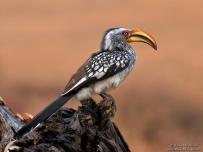 Yellow-Billed Hornbill on tree trump