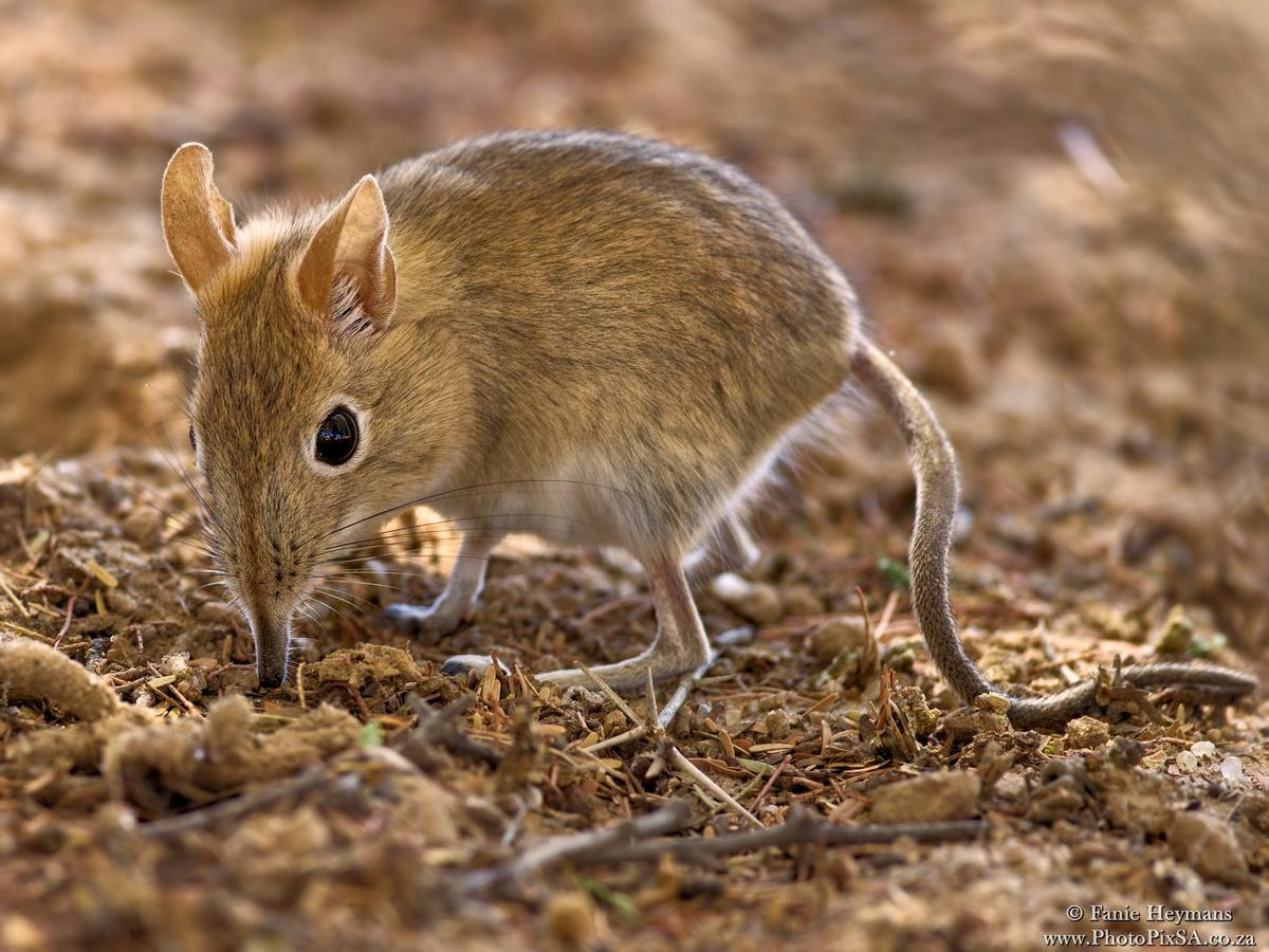 Elephant Shrew searching for food