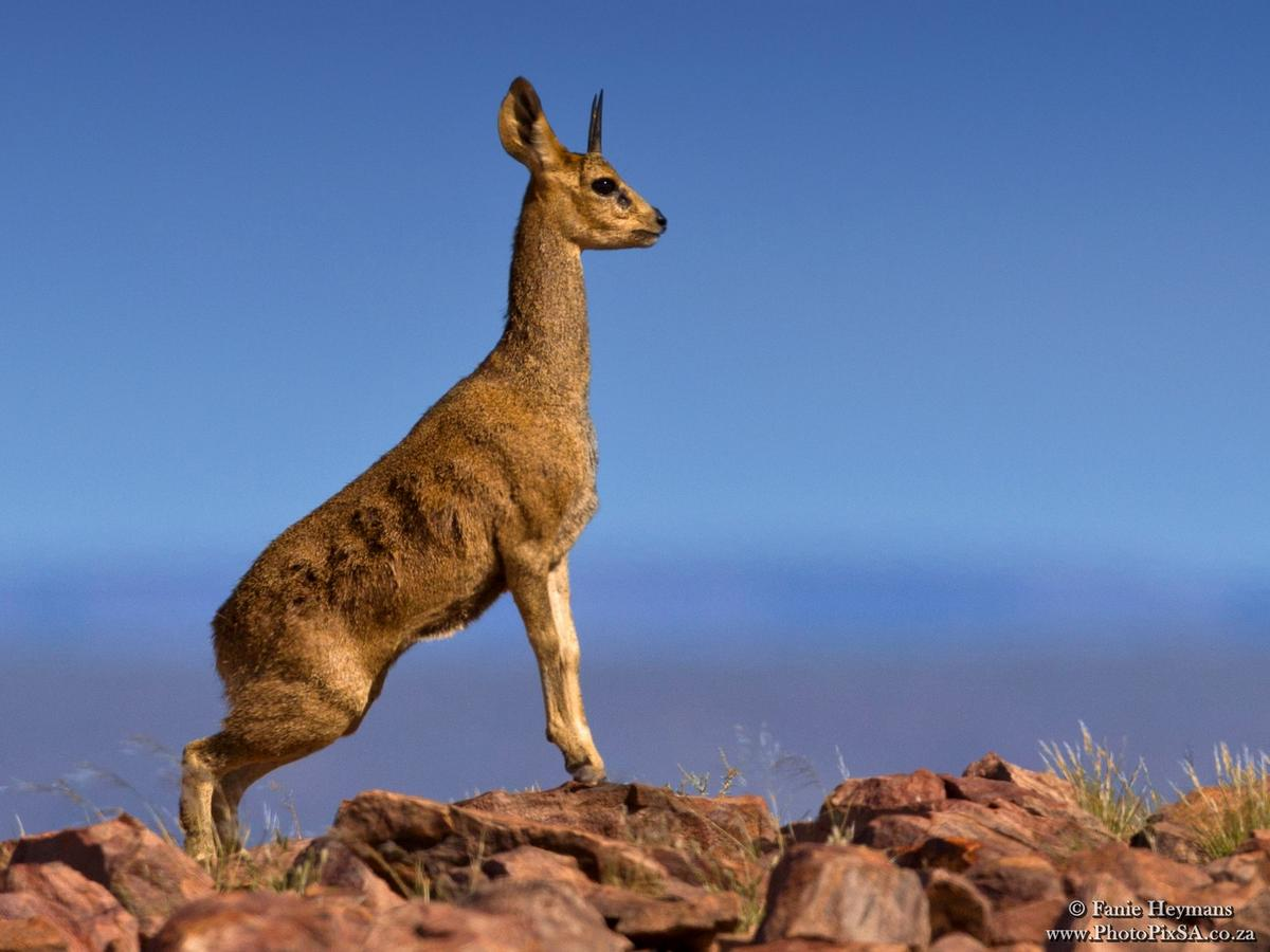 Klipspringer at the edge of the Fish River Canyon in Namibia