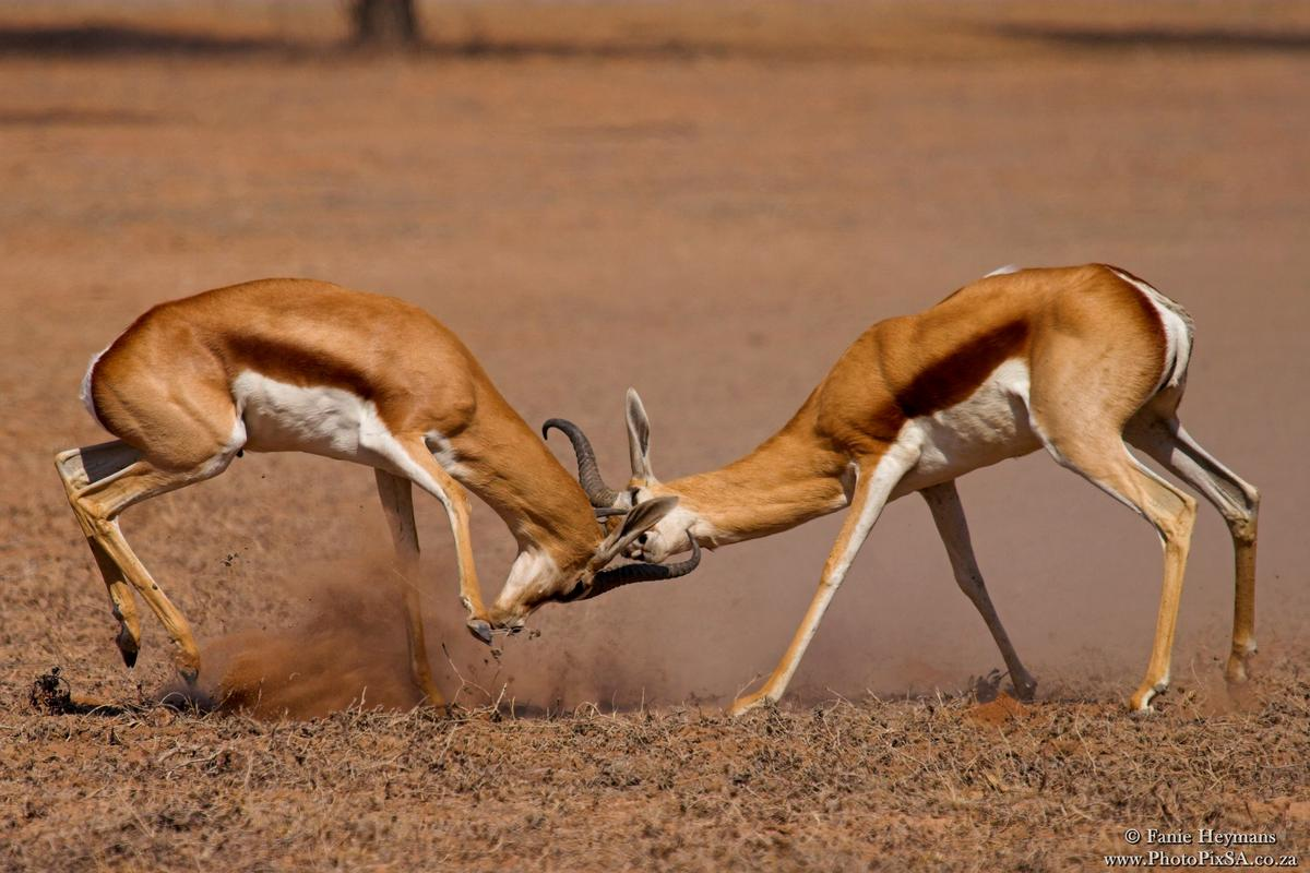 Male springbok locking horns in a battle for territory