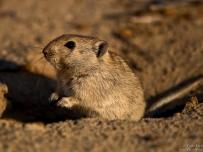 Brants Whistling Rat in its burrow
