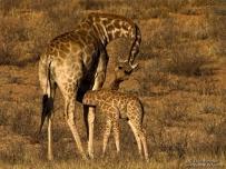 Giraffe baby drinking mothers milk