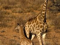 Giraffe baby next to his mother