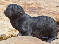 Sea Lion Baby without its mother
