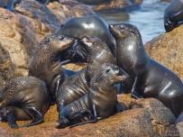 Sea Lions sunbathing at West Coast Northern Cape