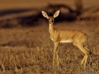 Steenbok in afternoon sun Nossob Africa