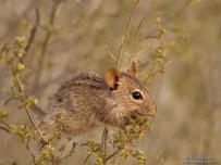 Striped mouse eating seed on a bush