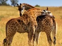 Two baby Giraffe cuddling