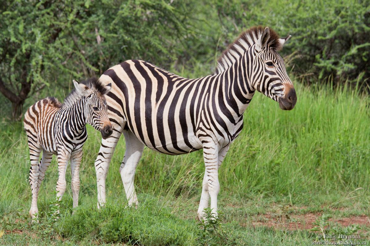 Zebra mother with baby