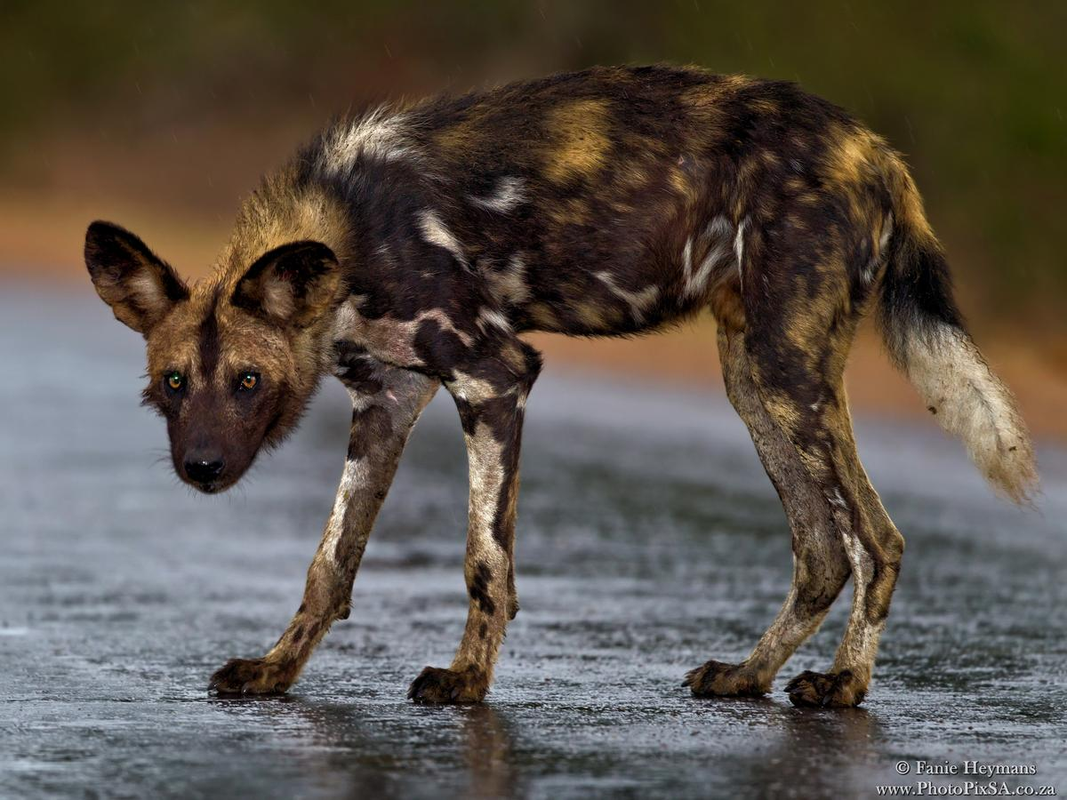 African Wild dog on wet tar road sipping up water from the tar
