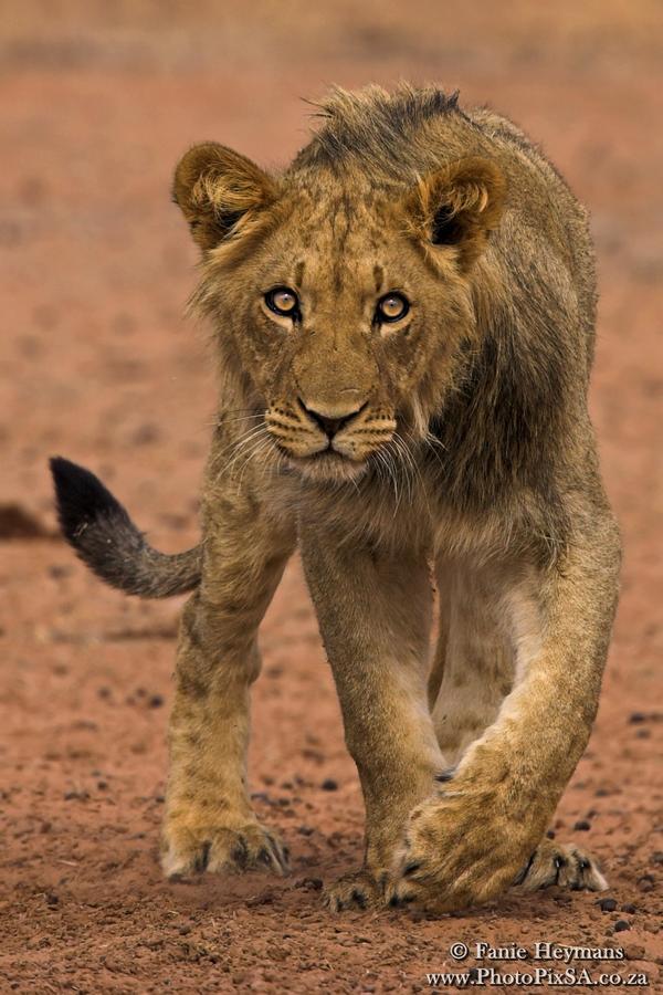 Curious Joung Male Lion