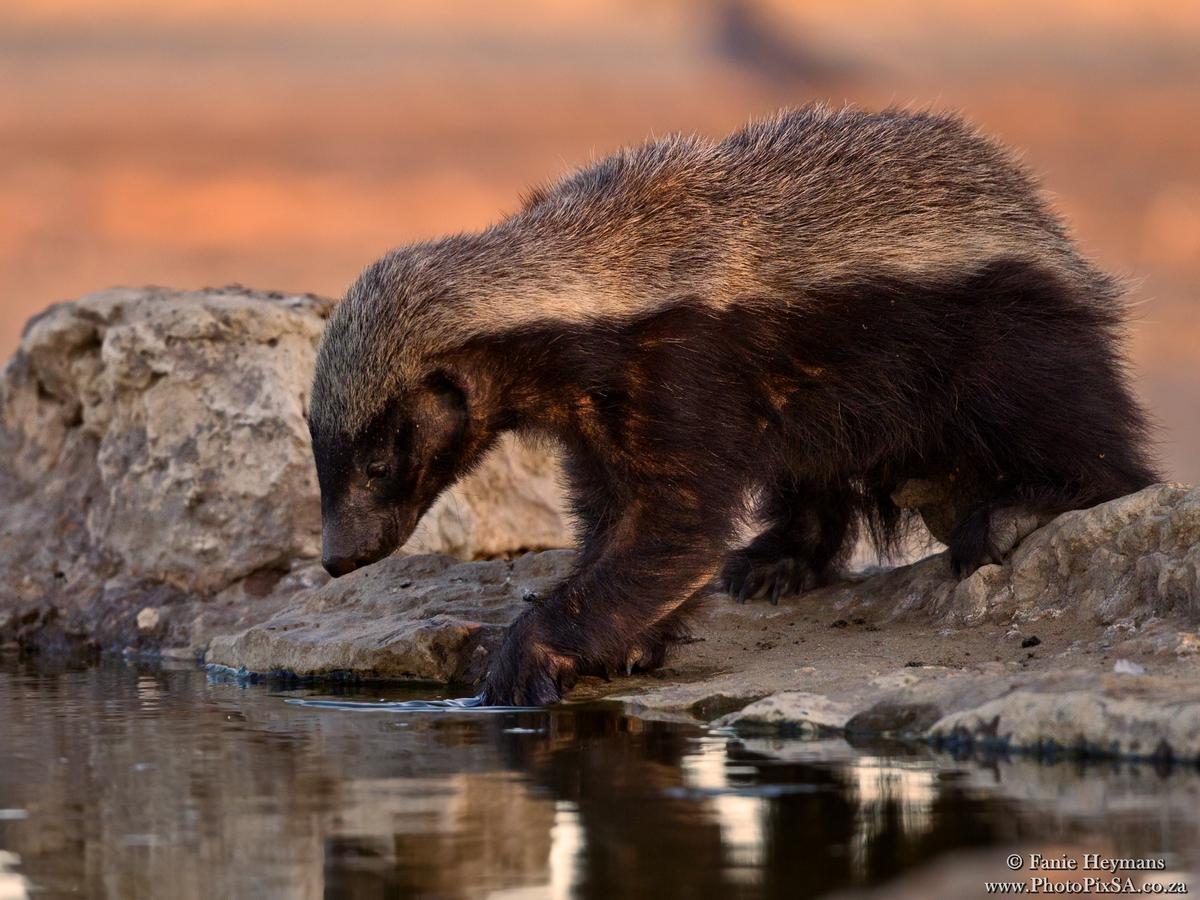 Honey badger at the waterhole