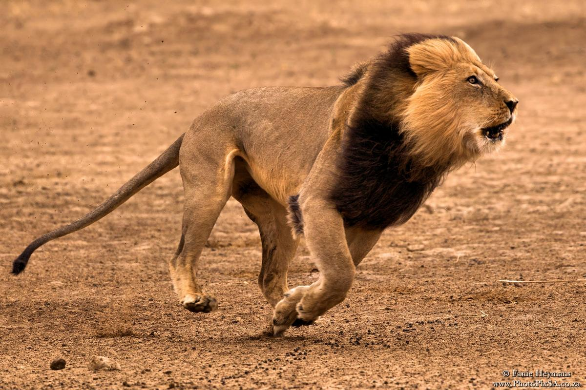 Lion male running in Nossob Riverbed