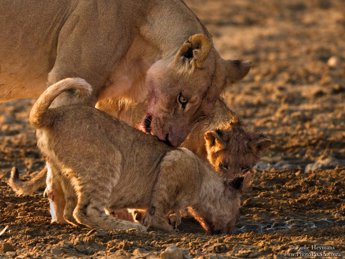 Lioness encourage young to drink water