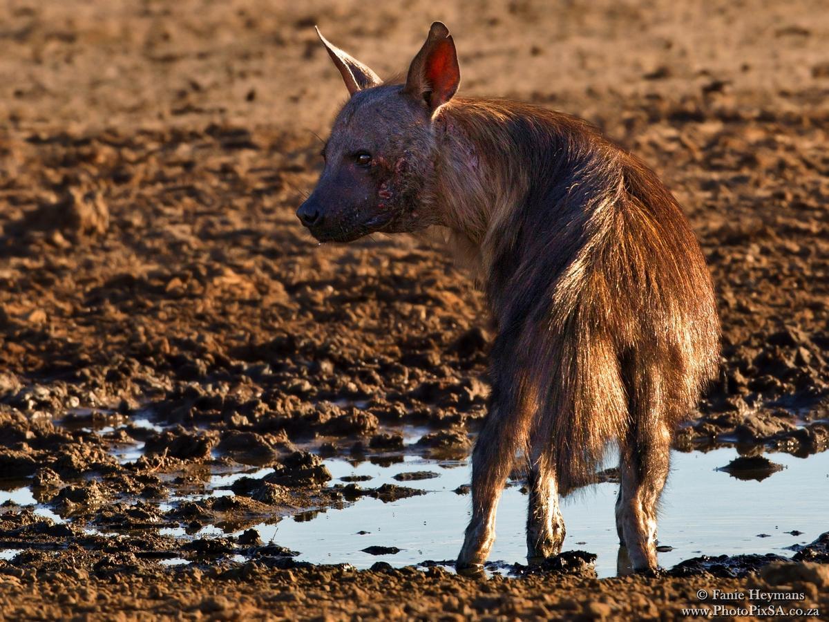 Scar Face Brown Hyena