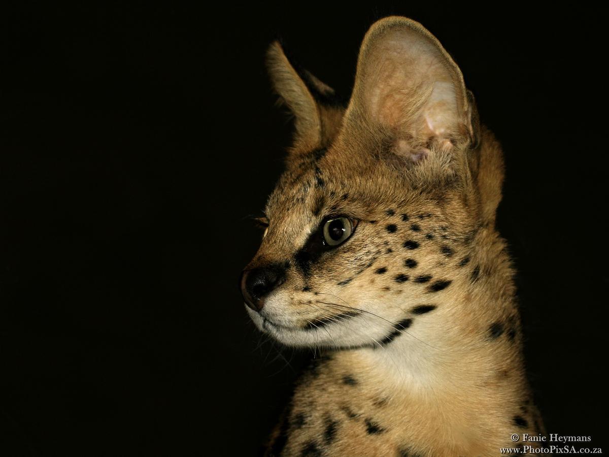 Serval Portrait