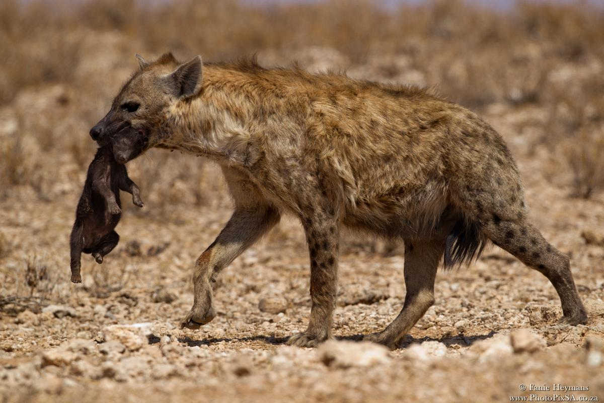 Spotted Hyena transporting its baby
