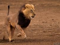 Big African Male Lion on the Run