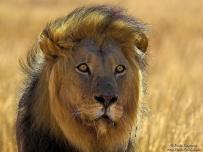 Big Kgalagadi Male Lion Portrait