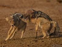 Black-backed Jackal fighting