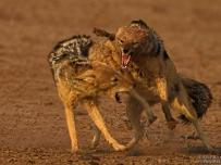Black-Backed Jackal Fight
