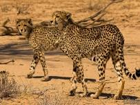 Cheetah mother and her cub