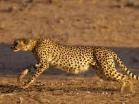 Cheetah picking up speed