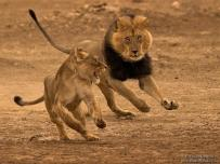 Kgalagadi Male Lion Chasing a Female