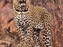 Leopard in Kruger Wildtuin