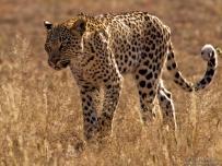 Leopard strolling in African grasslands