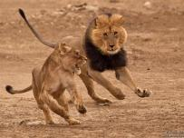 Lion chasing a lioness