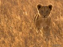Lion Cub Back Lighting in Grass