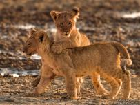 Lion cub playing with his brother
