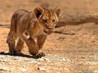 Lion cub strolling on its own