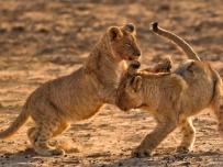 Lion Cubs Attacking each other