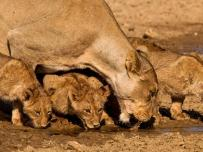 Lion cubs drinking water