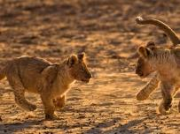 Lion cubs playing wildlife