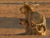 Lion and lioness mating