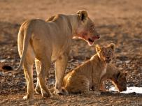 Lion cub licking off its lips with Lioness