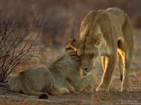 Lioness shows off mother love