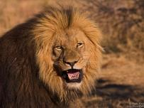 Male Lion with beautiful Mane