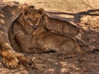 Unhappy Lion cub