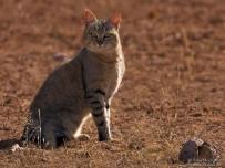 Wildcat sitting in Nossob River