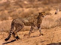Young Cheetah in Mata Mata Riverbed