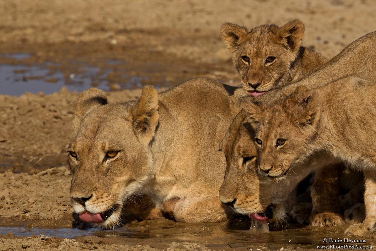 Two lioness and cubs at the water hole