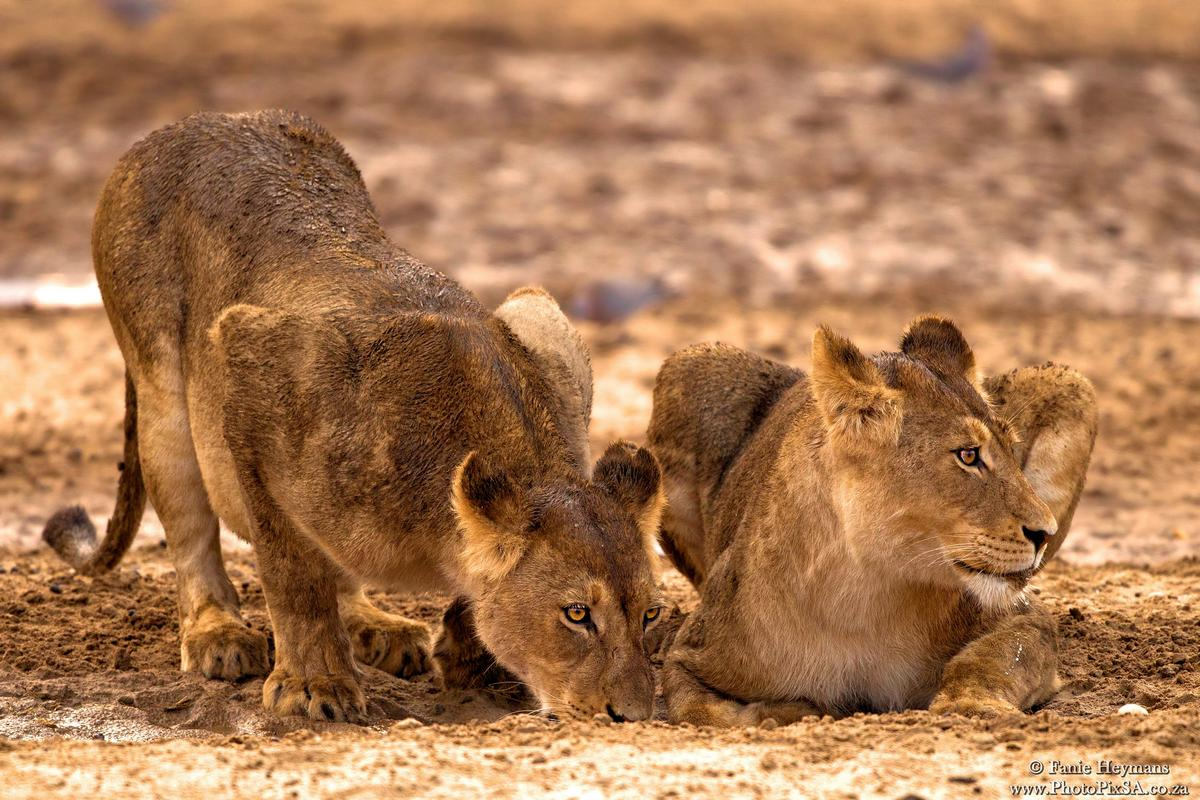 Two wet lions drinking water