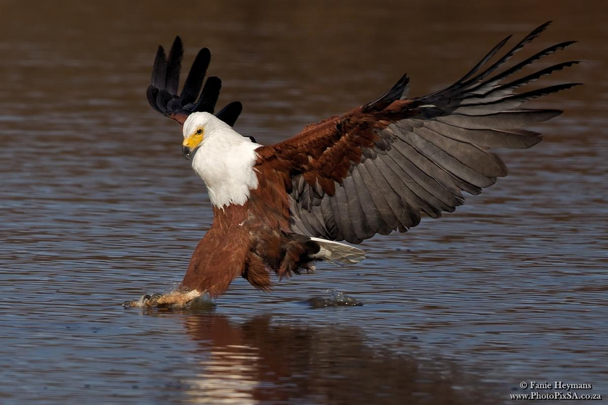 African Fish Eagle with claws touching down on water