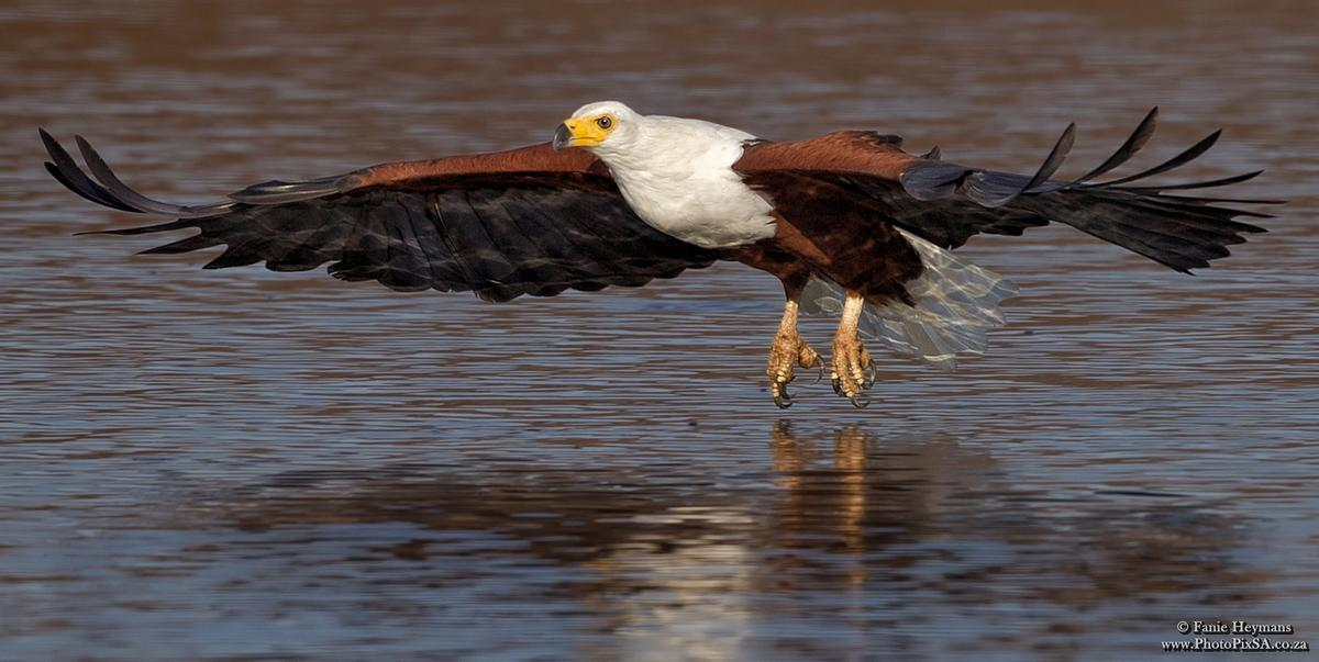African Fish Eagle low over the water