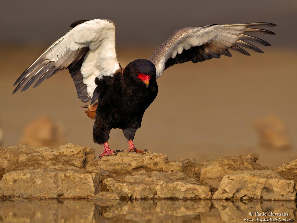 Bateleur Eagle landing at waterhole