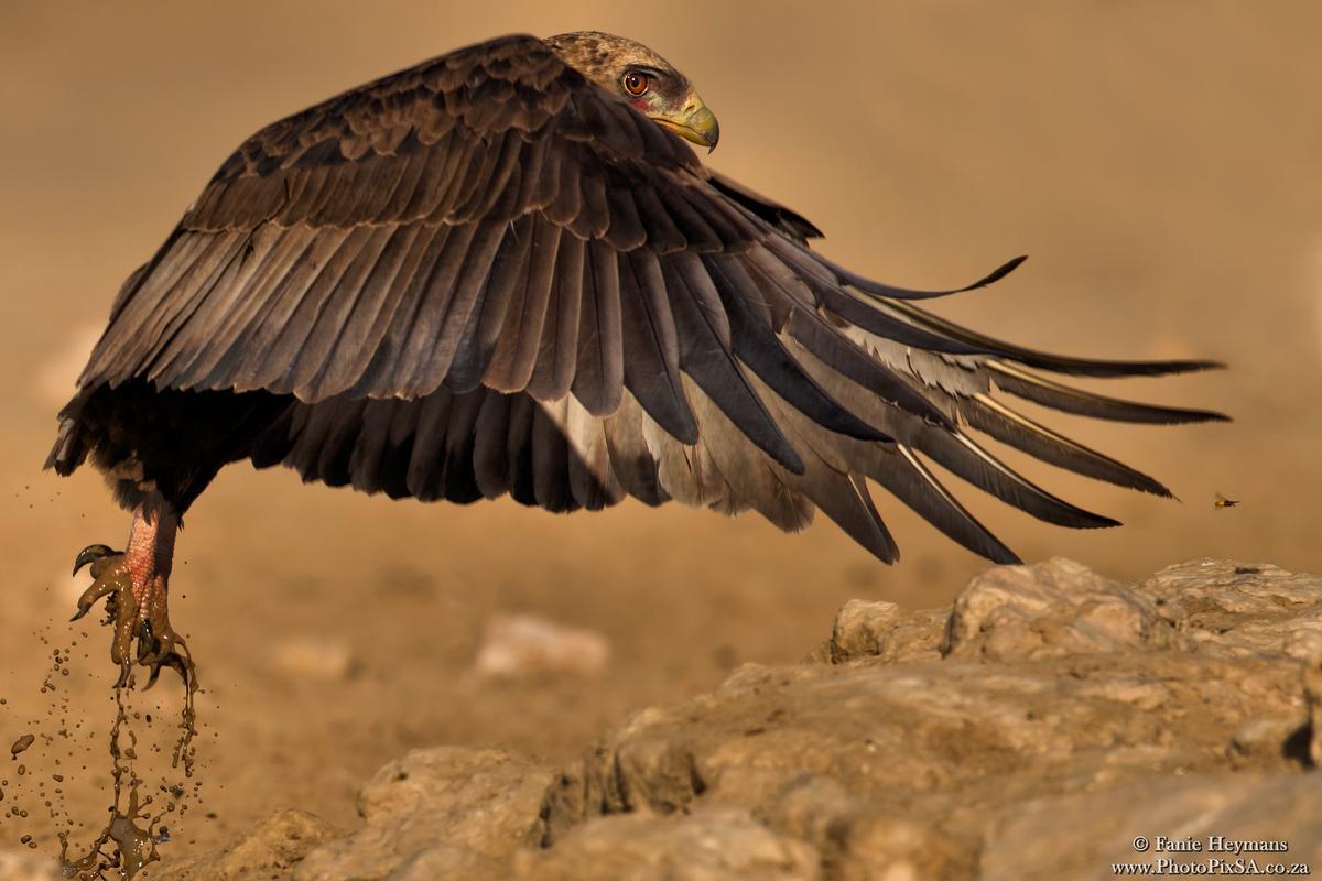 Bateleur eagle take off